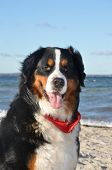Bernese cattle dog posing at the beach