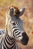 Backlit Zebra Portrait