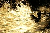 Golden sunset through a pine tree
