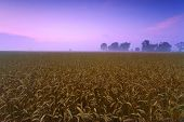 stock photo of alabama  - This image of a wheat field was taken in the early morning near Huntsville - JPG