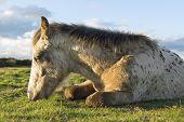 Beautiful appaloosa foal sleeping.