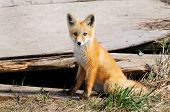 Baby Red Fox Kit Near Den