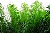 Needle-like Leaves Of Cycas