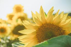 image of heliotrope  - portrait of a sunflower in the summer - JPG