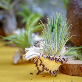 picture of tillandsia  - Nice composition of Tillandsia species of evergreen perennial flowering plants in the family Bromeliaceae native to the forests mountains and deserts of Central and South America the southern United States and the West Indies - JPG