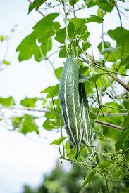 picture of green snake  - Green snake gourds in vegetable garden on sky background - JPG