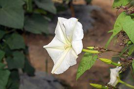 picture of ipomoea  - Moonflower  - JPG