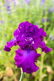 stock photo of purple iris  - Close up of purple Bearded Iris Flowers - JPG