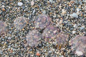 stock photo of jellyfish  - dead jellyfish in a mediterranean sea beach - JPG