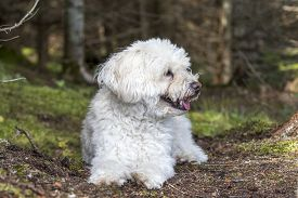 image of cockapoo  - A small white Cockapoo dog pants as it takes a rest from a hike through a forest  - JPG