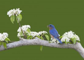 stock photo of bluebird  - Male Eastern Bluebird perched on a branch with white flowers - JPG