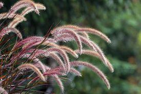 image of fountain grass  - Purple Fountain Grass Ornamental Plant in Garden Landscaping Closeup - JPG