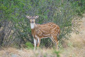 stock photo of bucks  - South Texas axis buck standing - JPG