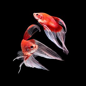 stock photo of butterfly fish  - Red siamese fighting fish betta fish butterfly tail profile on black background - JPG