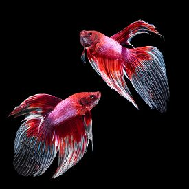 foto of butterfly fish  - Red siamese fighting fish betta fish butterfly tail profile on black background - JPG