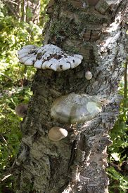 pic of parasite  - Parasite fungi growing on an old birch tree trunk - JPG