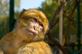 stock photo of macaque  - The portrait of Macaque monkey  - JPG