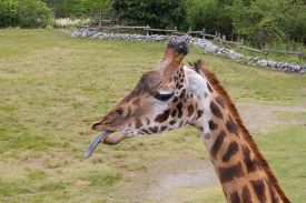 picture of sticking out tongue  - Giraffe sticks tongue out at onlooker in a playful manner - JPG