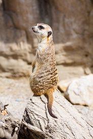 stock photo of meerkats  - funny meerkat sitting on a rock in the zoo - JPG