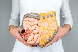 stock photo of intestines  - Woman holding model of human intestines in front of body on white background - JPG