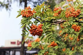 pic of mountain-ash  - Brightly orange berries of a mountain ash - JPG