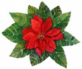 foto of poinsettia  - A vintage style watercolour drawing of a bright red poinsettia  - JPG