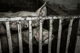 stock photo of pig  - Dirty pig on a farm a barrage. ** Note: Shallow depth of field - JPG