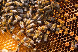 stock photo of honeycomb  - Busy bees close up view of the working bees on honeycomb - JPG