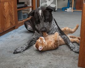 stock photo of pal  - Mixed breed Pitbull and Tabby kitten are pals - JPG