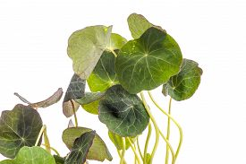 image of nasturtium  - edible Tropaeolum majus leaves nasturtium leaf used for garnish on food isolated on white - JPG
