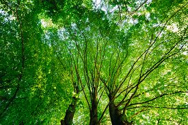 image of canopy  - Spring Summer Green Canopy Of Tall Trees - JPG