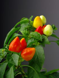 picture of red hot chilli peppers  - Red hot  chilli peppers as the fruit of the mother plant - JPG