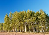 Birch With Forest & Blue Sky At Background