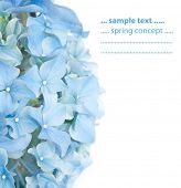 flora Primavera azul vívido (Hydrangea macrophylla)