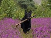 Black German Shepherd In Heather