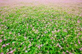Astragalus sinicus, também nome vetch de leite chinês, florescendo na Primavera