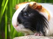 picture of guinea pig  - a beautiful close up of a satin silkie - JPG