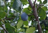 The Ripened Plum On A Branch