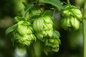 Plant hops close-up