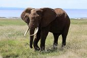Elephant Bull At Lake Manyara