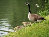 foto of mother goose  - Mother goose watching over a brood of gosling - JPG
