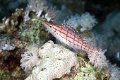 pic of hawkfish  - Longnose hawkfish  taken in the Red Sea - JPG