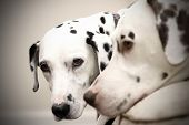 Dalmatian Doggies