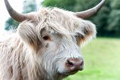 Closeup Portrait Of Beautiful Highland Scottish Hairy Creamy Cow. Glasgow, Uk, Scotland. Colored Out poster