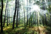 Sun's rays shining through the trees in the forest.