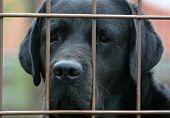 Labrador Behind Fence