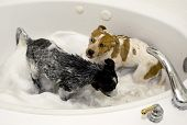 stock photo of blue heeler  - Two cute pups taking a bubble bath - JPG