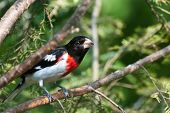 Rose-breasted Grosbeak Perched In A Tree