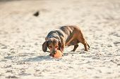 An Old Fat Little Brown Dachshund Dog Plays With A Rubber Red Ball On A Sandy Beach In Sunny Weather poster