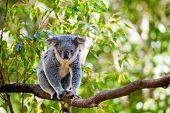 Cute Australian koala in its natural habitat of gumtrees